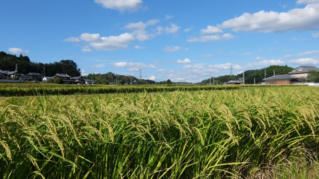 Yamadanishiki rice field at Yokawa-town Hyogo pref.